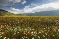 Linsenfeld und Wildblumen — Stockfoto
