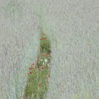 Campo de maíz con amapolas y margaritas - foto de stock
