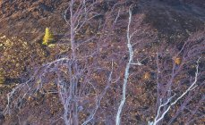 Betulla dell'Etna alberi — Foto stock