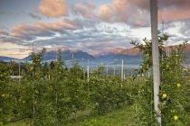 Пышные яблони — стоковое фото