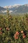 Apple orchard at mountainous valley — Stock Photo