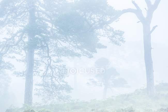 Mattina nebbia che copre gli alberi nella foresta — Foto stock