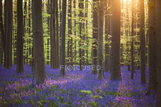 Постріл синій ліс Бельгії — стокове фото