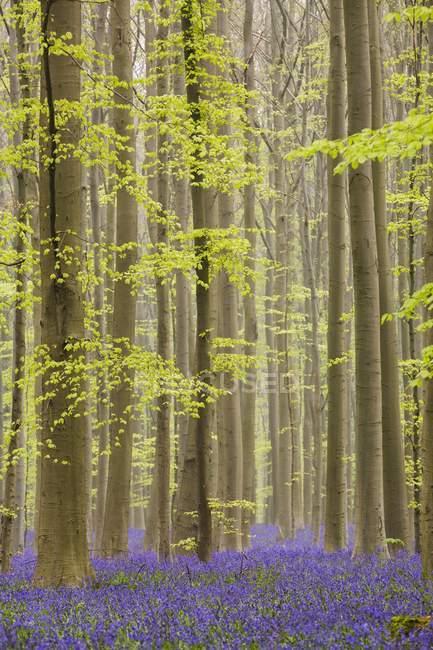 Schuss des blauen Wald Belgien — Stockfoto