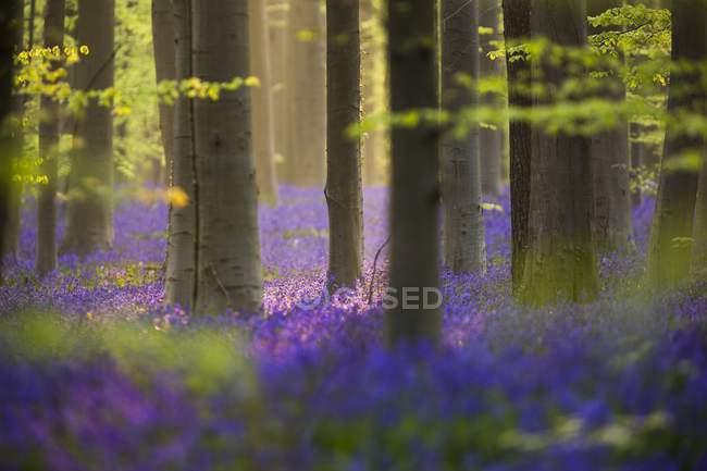 Tiro de Floresta Azul da Bélgica — Fotografia de Stock