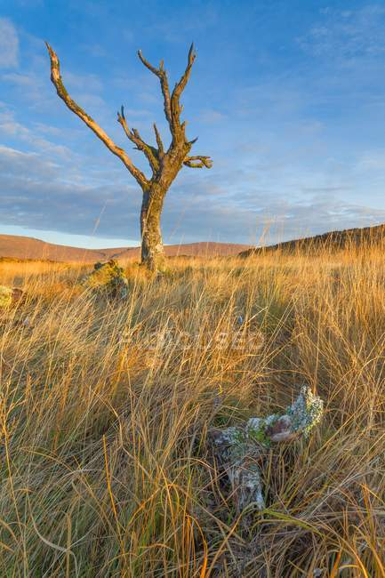 Árvore morta no Rannoch Moor — Fotografia de Stock