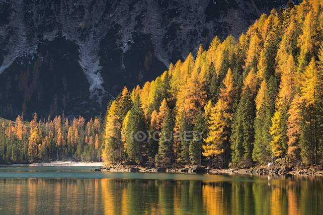 Золотая лиственница на озере Брайс — стоковое фото