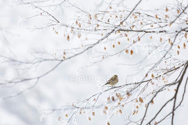 Pinzón vulgar en el paisaje congelado - foto de stock