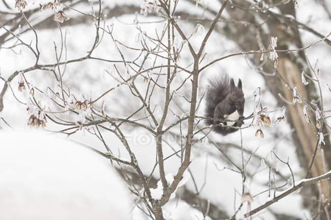 Ardilla en el bosque invernal - foto de stock