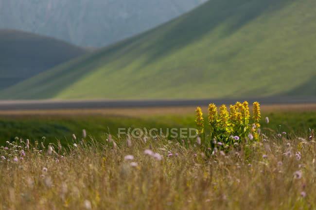 Flowering yellow gentians — Stock Photo