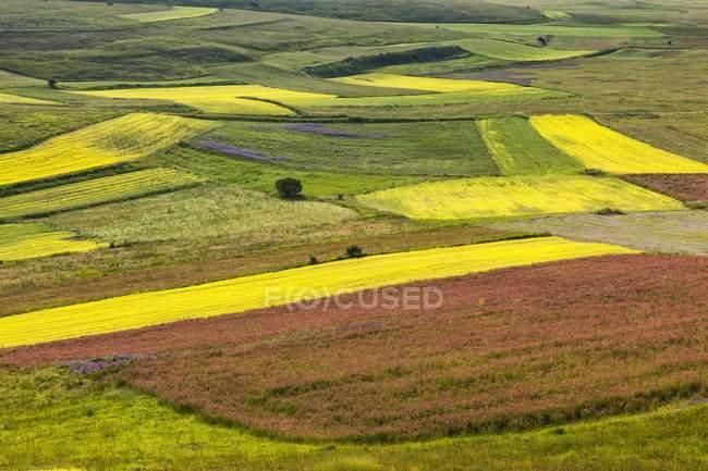 Campos de lenteja en primavera - foto de stock