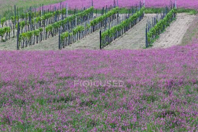 Spring flowering around a vineyard — Stock Photo