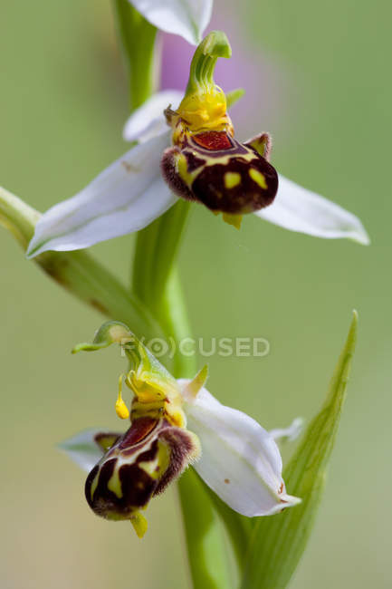 Close up of Ophrys apifera orchid flowers in the monte Moricone, Sibillini national park, Italy — Stock Photo