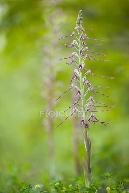 Chiuda in su dell'orchidea rara, Himantoglossum adriaticum, Parco nazionale dei Monti Sibillini, Italia — Foto stock
