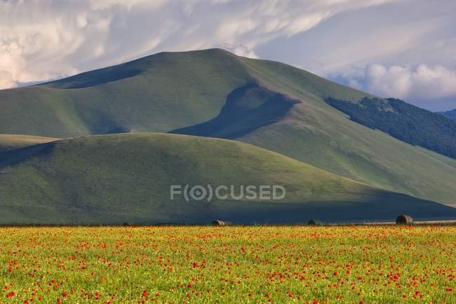 Cultivated fields and flowering poppies — Stock Photo