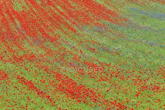 Amapolas flores de campos sembrados con lentejas - foto de stock