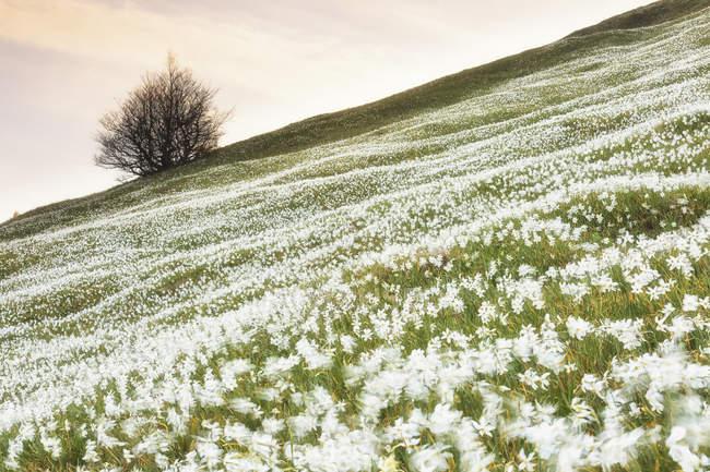 Der wilde Narzissen blühen — Stockfoto
