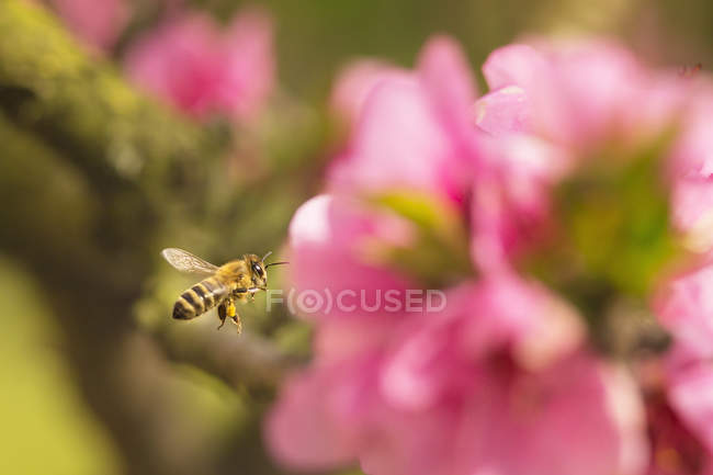 Бджоли під час польоту над рожева квітка — стокове фото