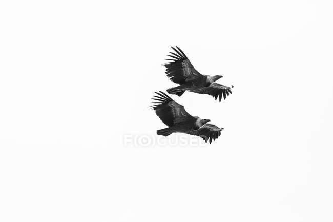 Pair of griffon vulture on flight — Stock Photo