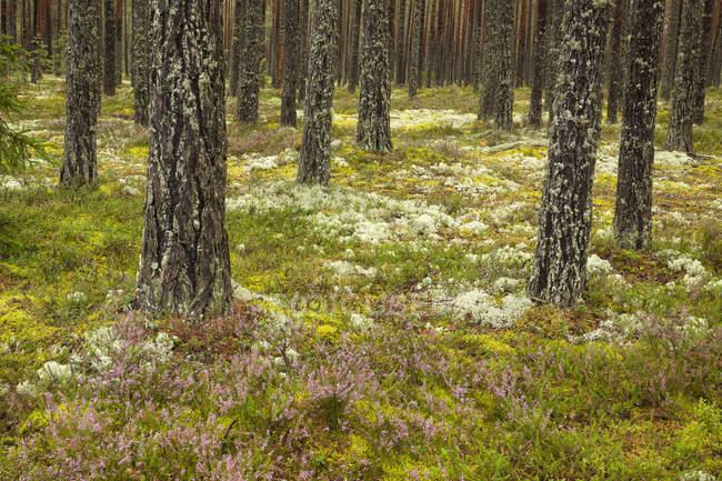 Forêt du parc national de Lahemaa — Photo de stock