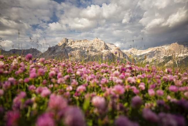 Flores silvestres en Pralongia al atardecer - foto de stock