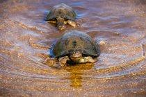 Tartarughe nuotare in acqua — Foto stock