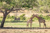 Zebras and giraffes on pasture — Stock Photo