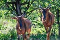 Rote Hartebeests in freier Wildbahn — Stockfoto