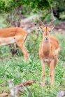 Wilden Antilopen in der Savanne — Stockfoto