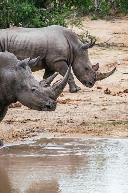 Дикі дорослих носорогів — стокове фото