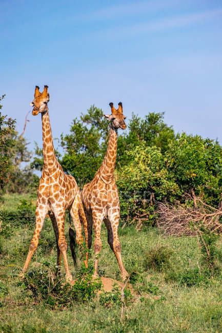 Диких африканских жирафы — стоковое фото
