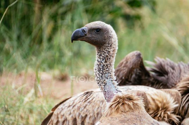 Avec la proie, les oiseaux de vautour — Photo de stock