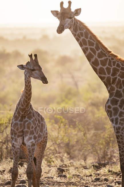 Giraffe africane selvatici — Foto stock