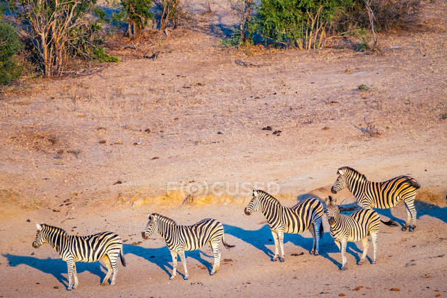 Zebre che pascono dal fiume — Foto stock