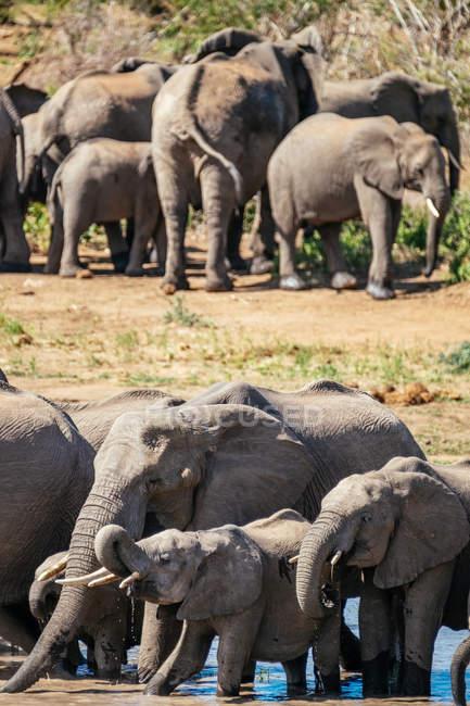 Famiglia di elefanti africani — Foto stock