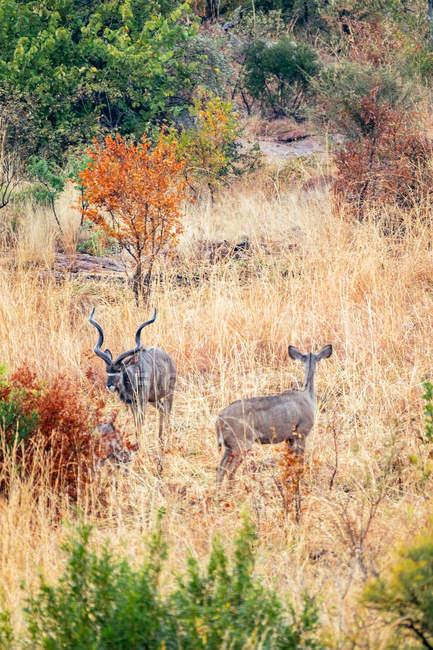 Дикі антилопи напрямку Savannah — стокове фото