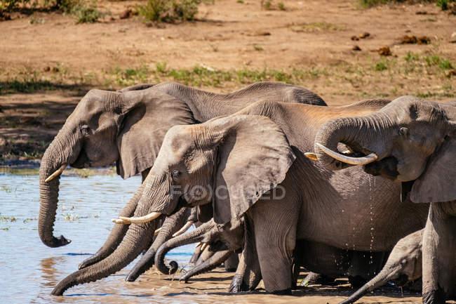 African elephants family — Stock Photo