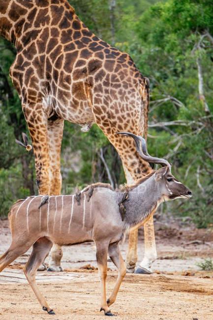 Giraffa africana e antilope con gli uccelli — Foto stock