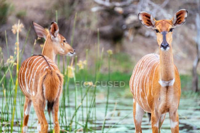 Antilopi selvatiche di fiume — Foto stock