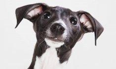 Левретка щенок — стоковое фото