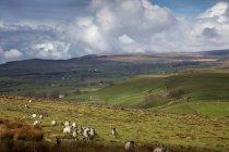 Ovelhas pastando no campo — Fotografia de Stock