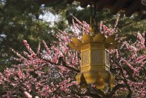 Golden Lantern With Cherry Blossoms — Stock Photo