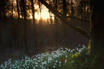 Snowdrops on forest floor at sunset — Stock Photo