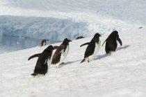 Gentoo пінгвіни працює вгору — стокове фото