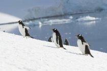 Gentoo penguins running upwards — Stock Photo