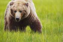 Brown bear standing on grass — Stock Photo