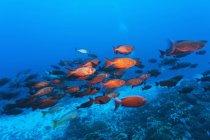 Crimson bigeyes nadando - foto de stock