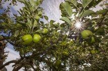 Pommes biologiques mûrissent — Photo de stock
