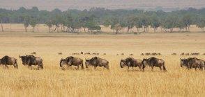 Міграції антилоп гну над полем — стокове фото