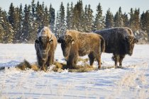 Buffalo in snow covered field — Stock Photo